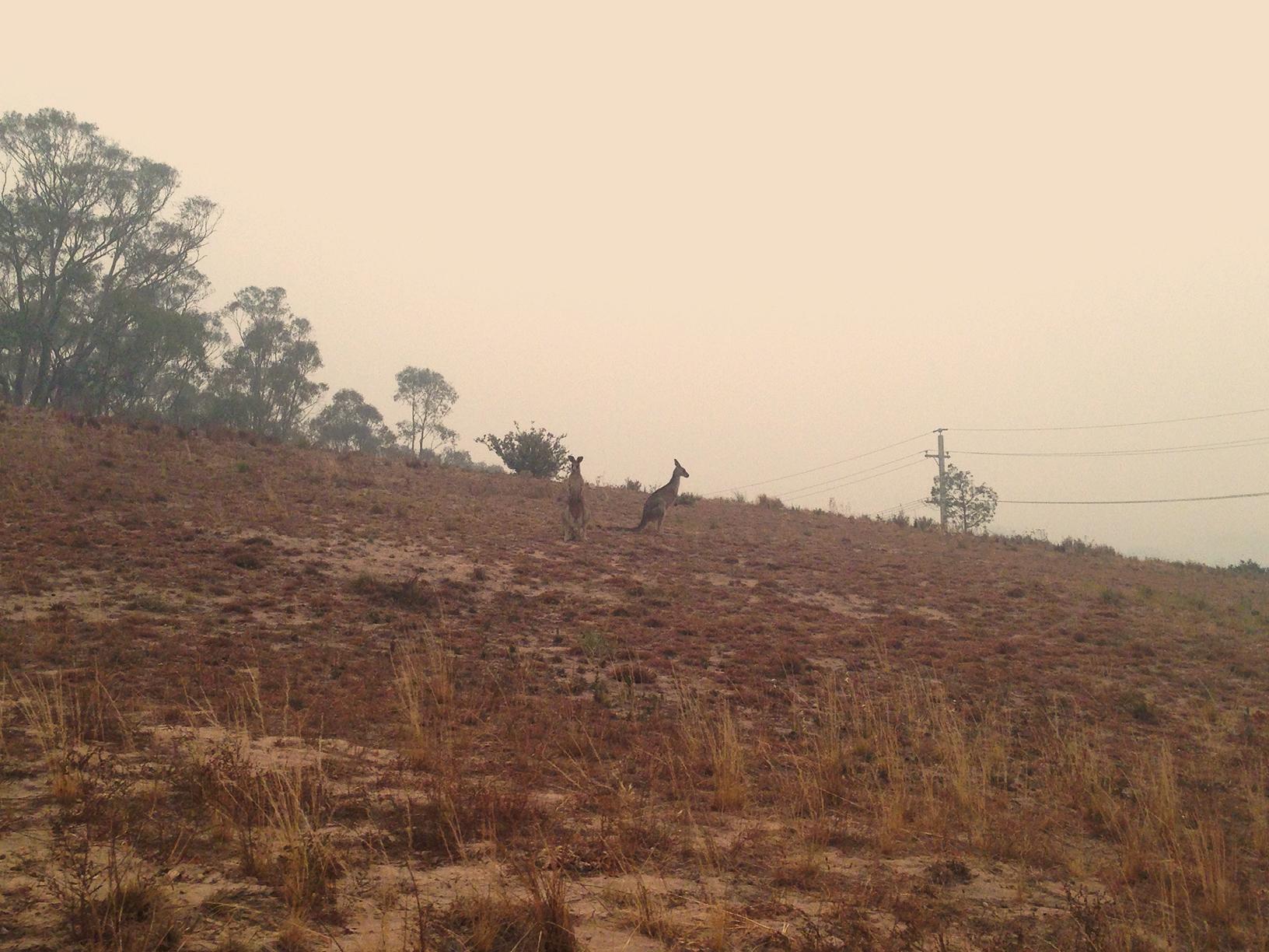 Kangaroos in smoke