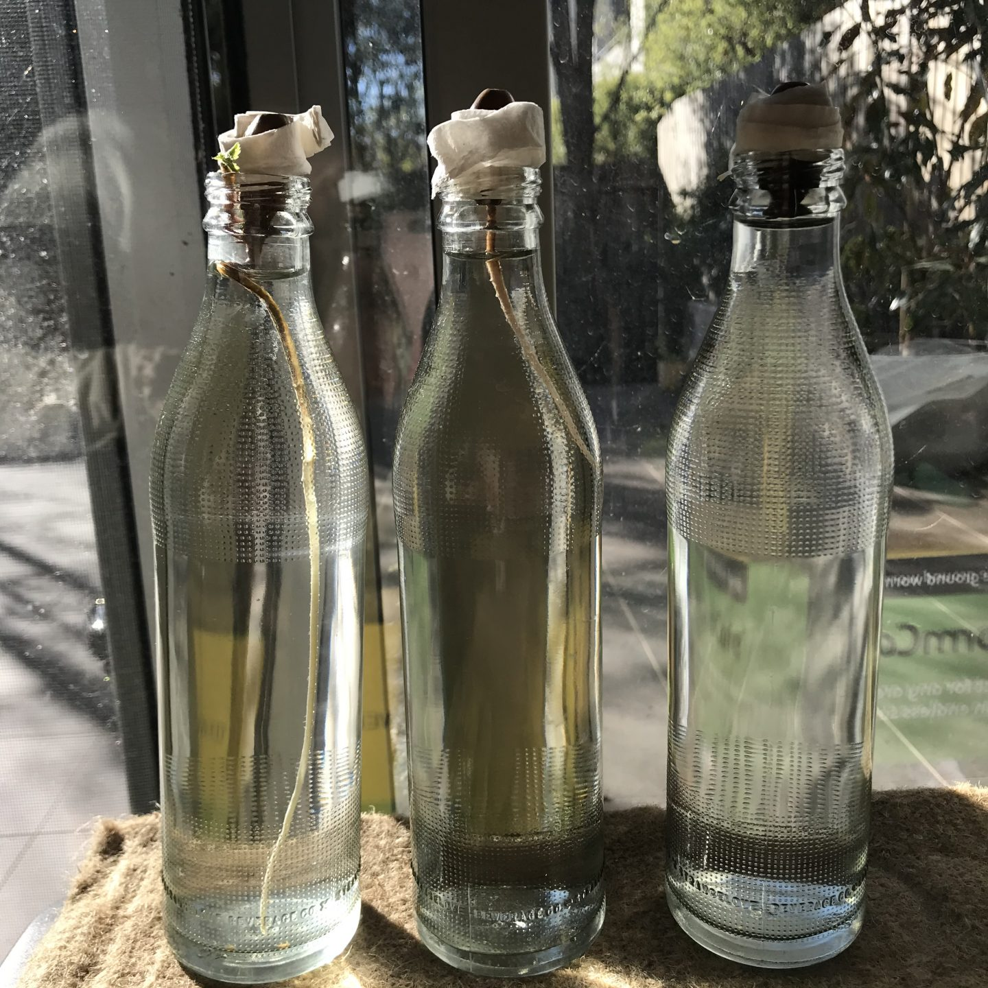 Three acorns wrapped in paper towel in a clear glass bottles, facing an outside courtyard in the sun