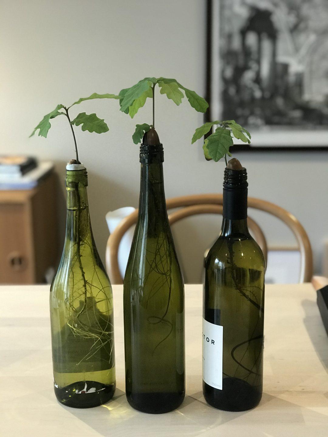 Three sprouting acorns in green glass bottles, in a home interior