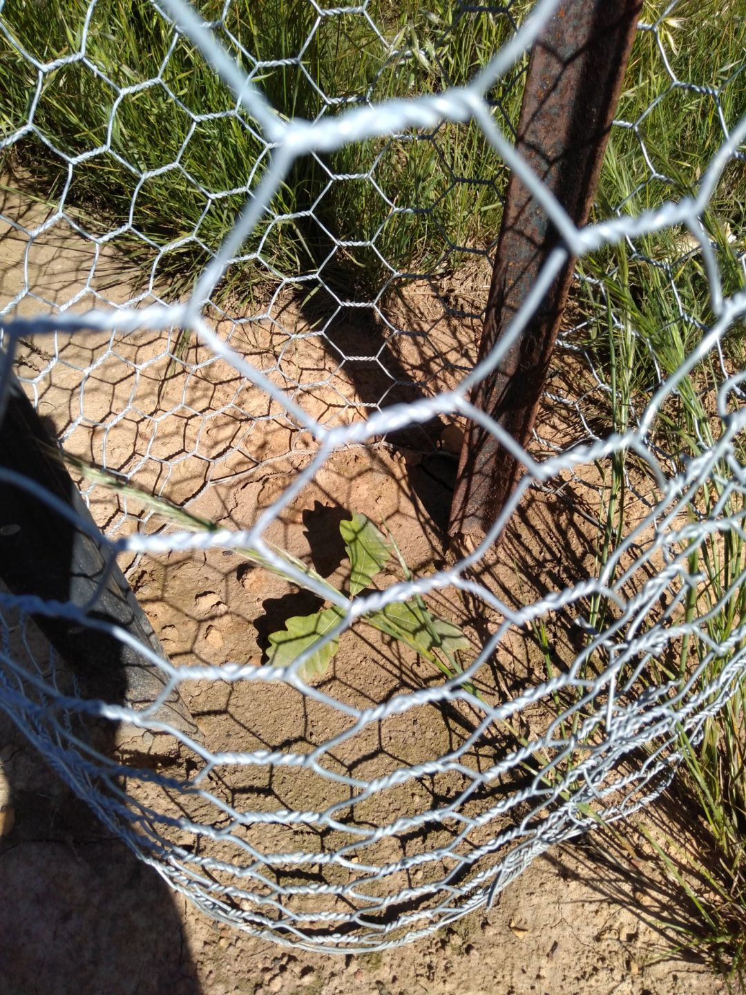 A small oak tree, protected by fencing