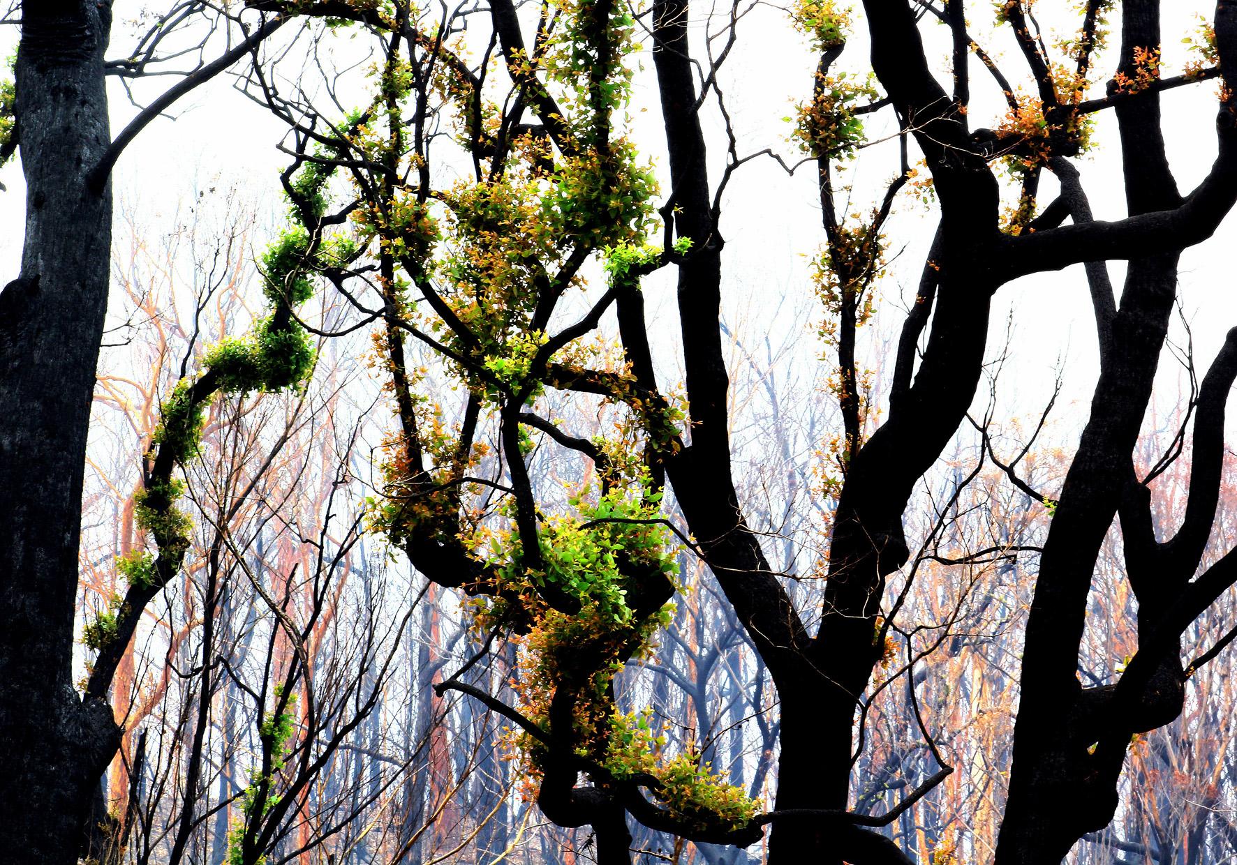 green regrowth on still burnt trees.